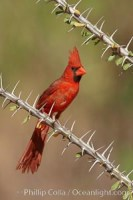 northern cardinal cardinalis cardinalis 22891