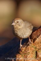 pipilo fuscus canyon towhee 22943 - HEALTH AND FITNESS