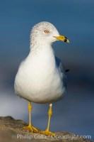 ring billed gull 18304