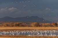 snow geese sandhill cranes 26205 - HEALTH AND FITNESS