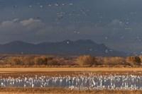snow geese sandhill cranes 26205