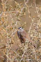 white crowned sparrow 21915