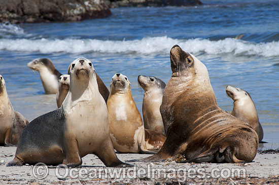 Image result for Australian bull sea lion