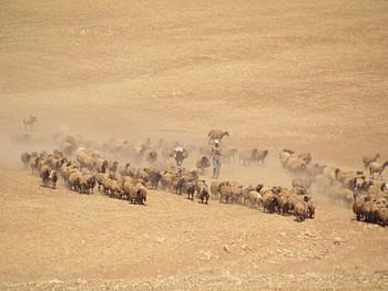 Palestinian man herding his livestock outside of Khirbet ar Ras al Ahmar, Jordan Valley (3 October 2019). © Photo by OCHA