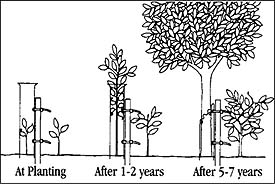 stages of growth with tree shelter