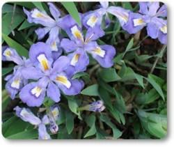 Iris crestata native plant