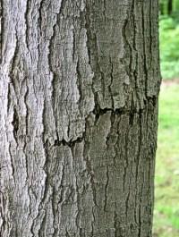 Acer saccharum bark