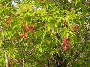 Acer negundo fruits