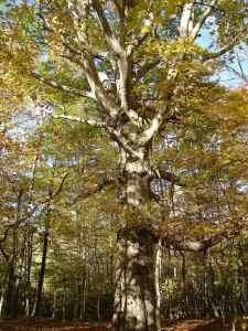 American beech - Fagus grandifolia