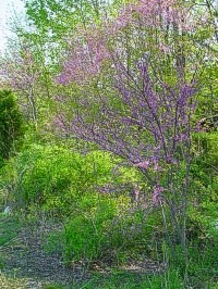 Eastern Redbud - Cercis canadensis in nature