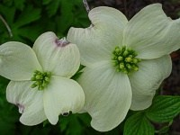 Flowering Dogwood - Cornus florida flower