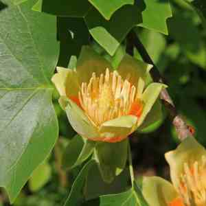 Tulip Poplar - Liriodendron tulipifera tulip close