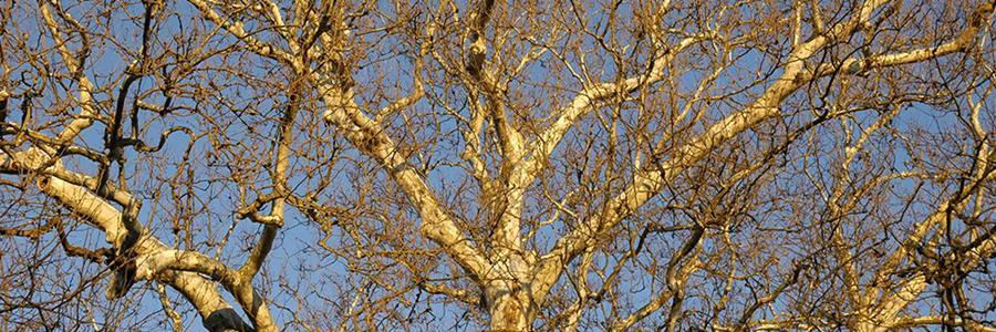 Plantanus occidentalis at Washington's HQ - Copyright Mark Gormel 900x300