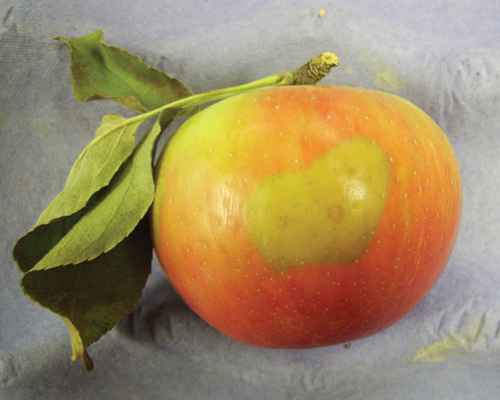 manzana golden