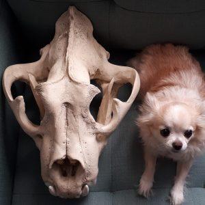 liger skull size