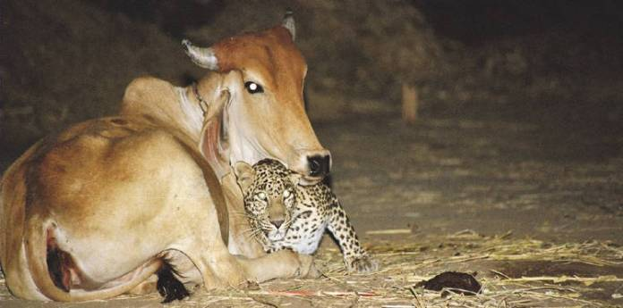 cow and leopard