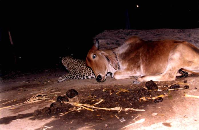 cow and leopard2