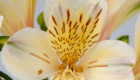 Cream alstroemeria flower with yellow inside
