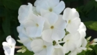 phlox all white