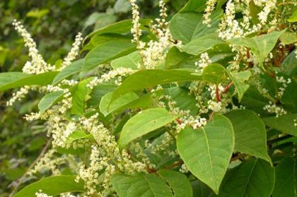 Image results for japanese knotweed