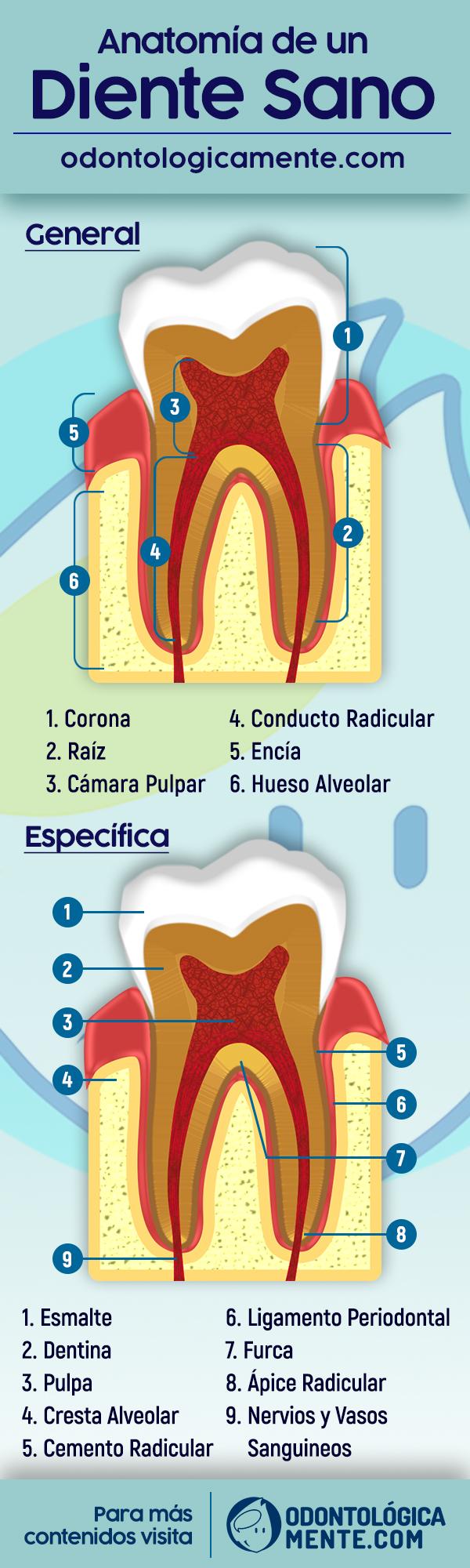 Infografia anatomia dental partes de un diente sano
