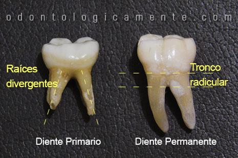 Raíces dentales