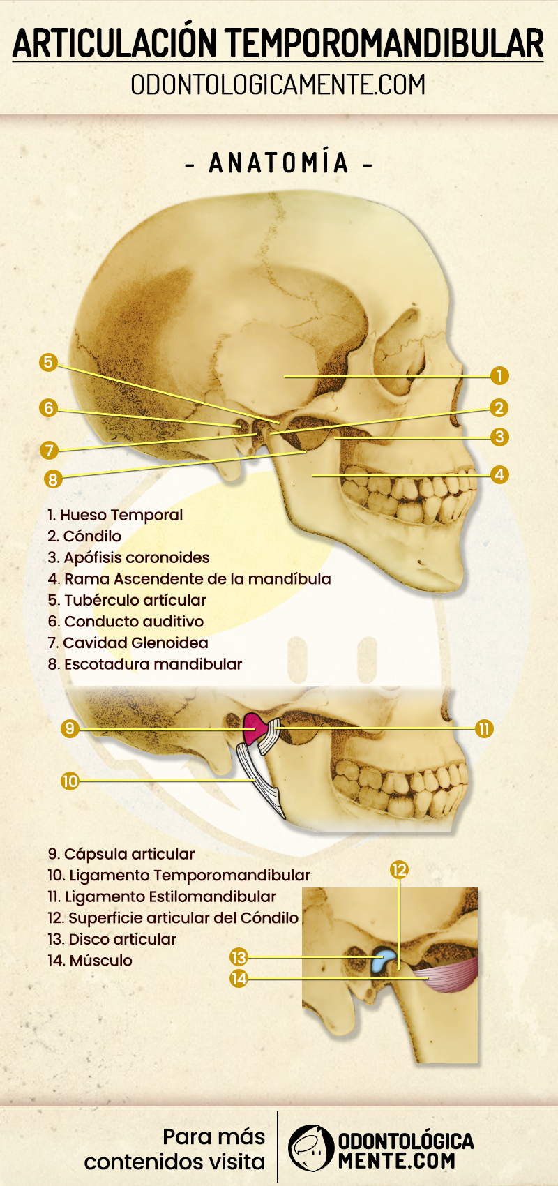 Infografía de ATM Articulación temporomandibular