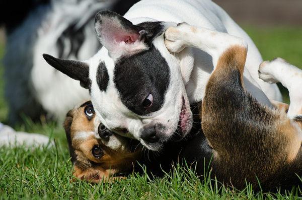 Proč je důležitý rozdíl mezi krmením pro malé a velké psy?