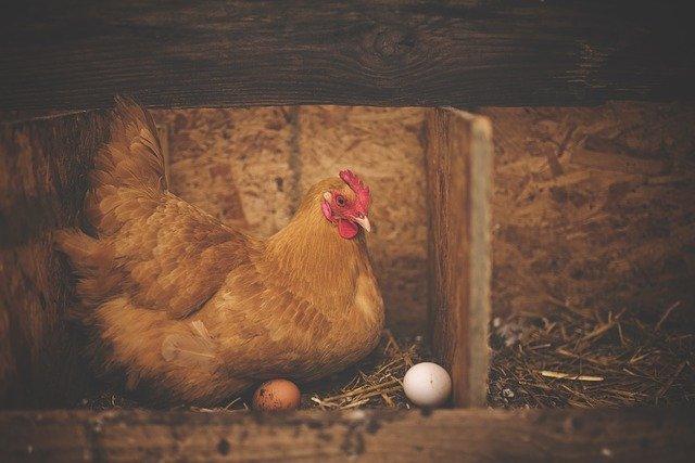 slepice a vejce