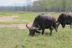 Są bardzo stadne, w porze deszczowej gromadzą się w grupy do 2000 osobników, w porze suchej rozpraszają się na mniejsze stada