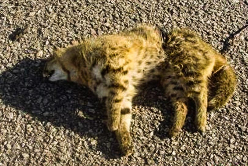26052015-gato-palheiro-atropelado