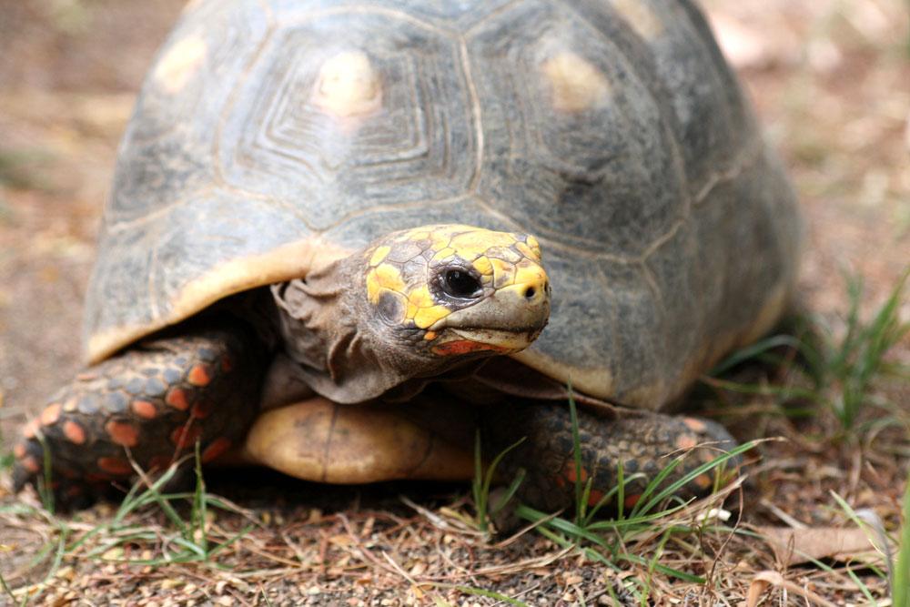 Red-foot-Tortoise 4494083555 f1e7a27b54 b