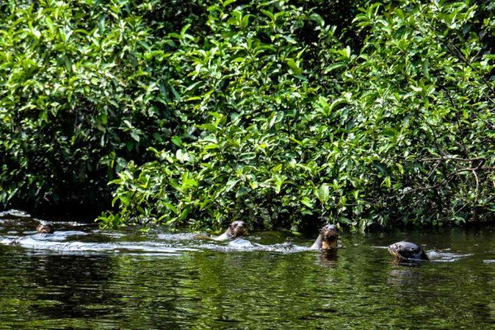 Grupo de ariranhas visto do primeiro semestre de 2015. Foto: André Coelho