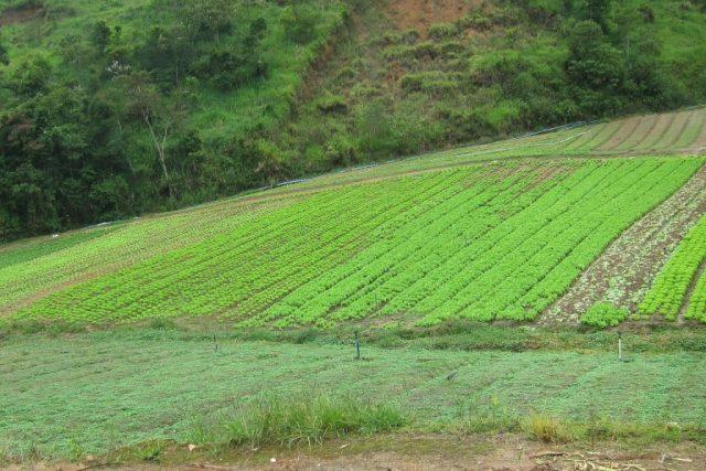 Censo Agropecuário reúne informações como o tamanho da área plantada para o cultivo de hortaliças, por exemplo. Acima, plantação de hortaliças em Teresópolis. Foto: Daniele Bragança.