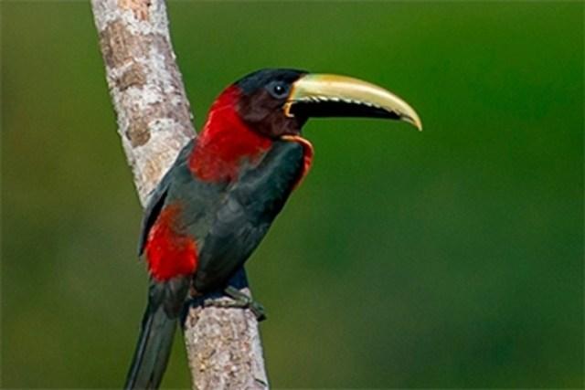 O Avista Brasil 2017 tem como objetivo promover o registro, a conservação e o conhecimento da nossa avifauna. Foto: J. Quental/Divulgação.