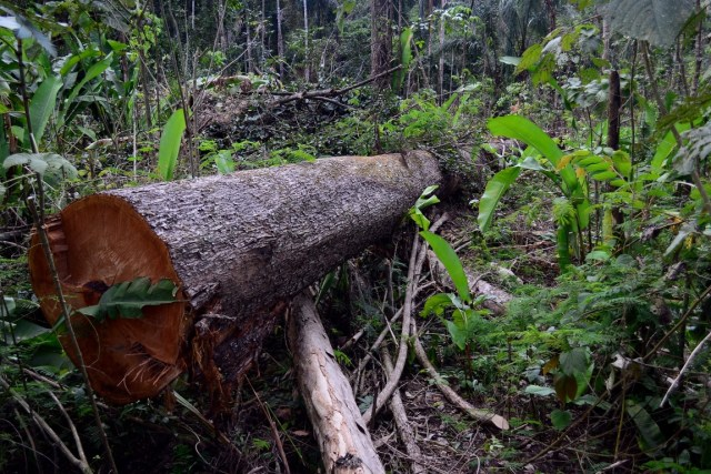Tronco derrubado por desmatadores na Floresta Nacional do Jamanxim em Novo Progresso, Pará. Foto: Vinícius Mendonça - Ascom/Ibama.