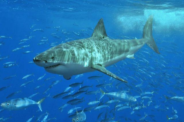 Tubarão branco (Carcharodon carcharias), uma das espécies listadas no Memorando de Entendimento sobre a Conservação dos Tubarões Migratórios (Sharks MoU). Foto: Wikipédia.
