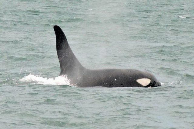 A orca macho. Foto: Monique Tayla/Instituto Argonautas.