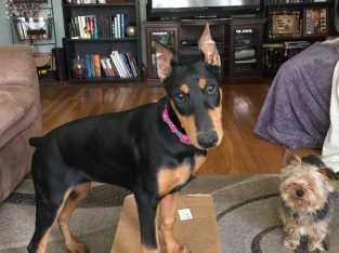 Doberman Pinscher pure breed puppy ready