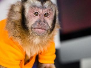 Capuchins Monkey