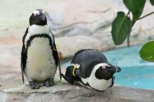 Mated penguin pair