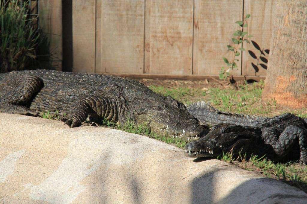 Wild Florida Nile Crocodiles