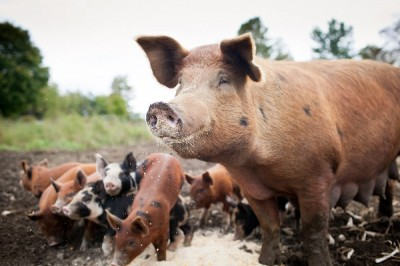 Pig -- god's law
