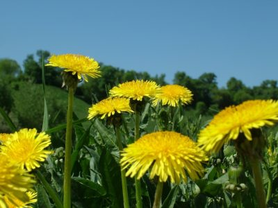 Dandelions: Backyard Survival Food That Will Extend Your Life