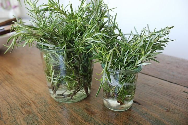 Indoor Herb Garden Plant Decor Herbs Rosemary Plants Ready to Transplant into Pots