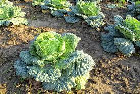 perennial vegetables
