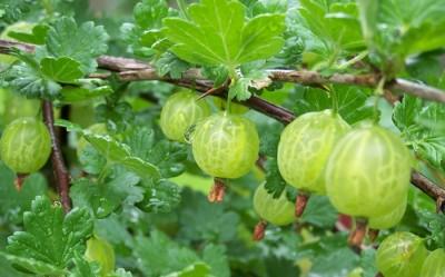 Perennial Berries