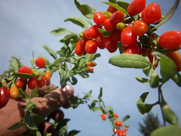 goji-berry-wikimedia