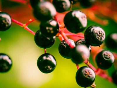 The 4-Ingredient Elderberry Syrup That Destroys The Cold & Flu