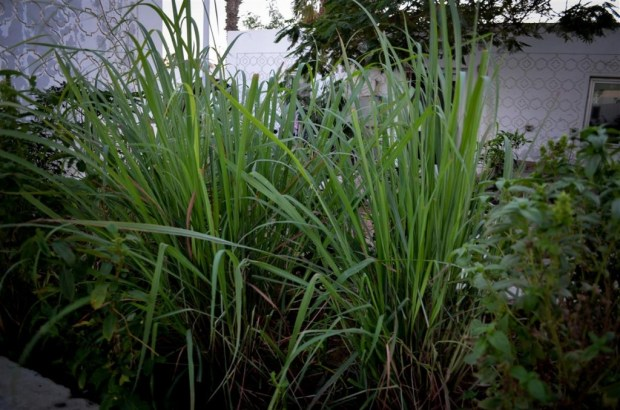 Lemongrass: The High-Yield Herb That's Easy To Grow Indoors